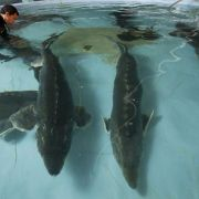 تولید و پخش ماهی خاویار